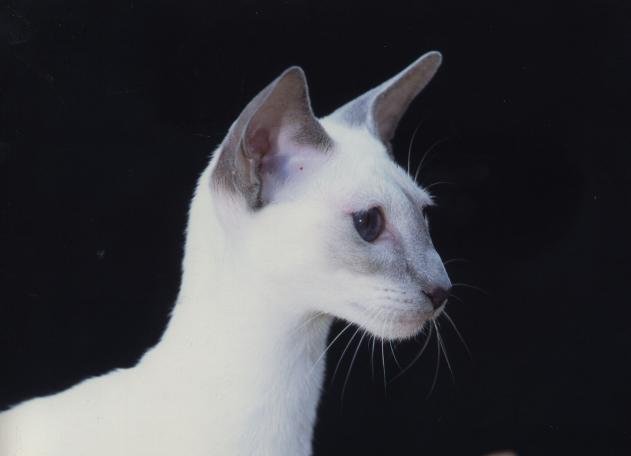 GC Sahja's Glory in the Morning, lilac point Siamese