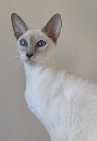 GC Koblizek's Desert Glory of Sahja, lilac point Siamese