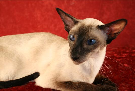GC Sahja's Forever Love Song, seal point Siamese