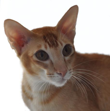CH Kolb Cayenne of Sahja, red ticked tabby Oriental
