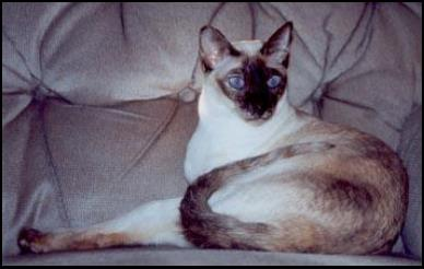 seal tortie point oriental cat