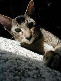 chestnut ticked tabby oriental
