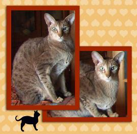 chestnut spotted oriental shorthair cat