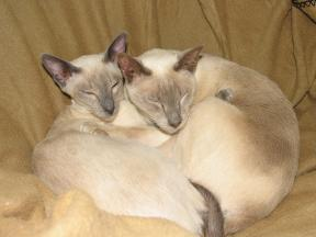 sleeping Siamese cats