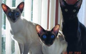 blue point and seal point siamese with an ebony oriental