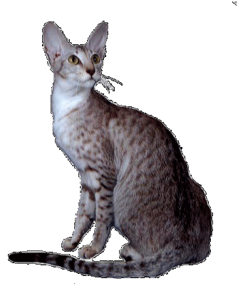 Grand Champion Sahja's Glory MacHanna, oriental cat picture