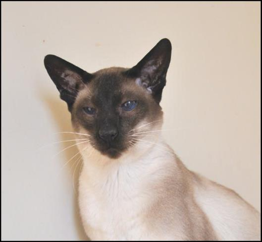 Caru Shiloh of Sahja, seal point Siamese