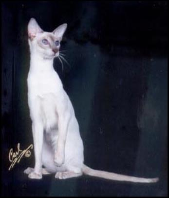 CH Sawasdee Artic Storm of Sahja, lilac point Siamese