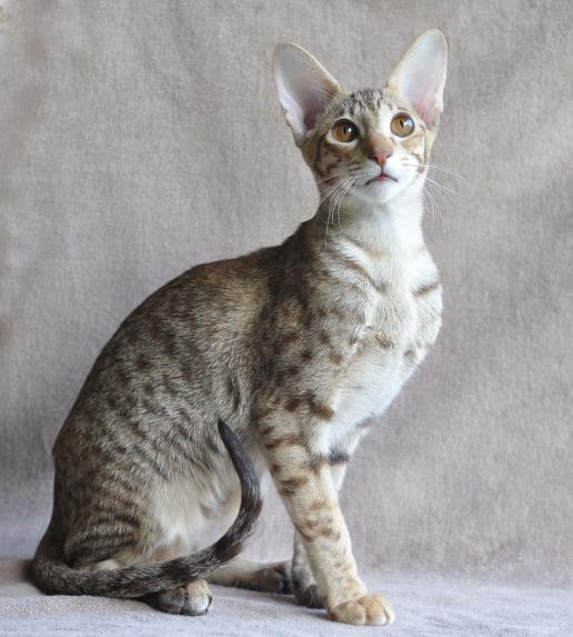 chestnut silver spotted tabby 