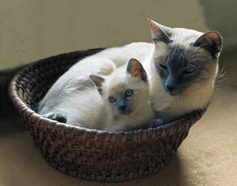 Siamese mom with kitten