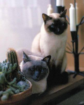applehead siamese cats from the 1960's