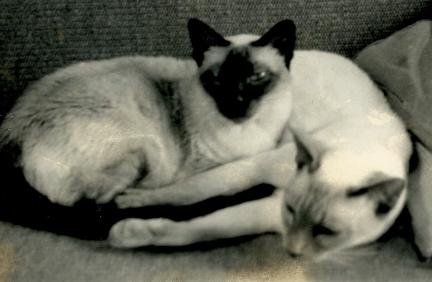 Siamese cats from the 1960's