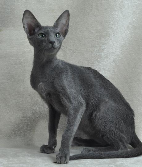 Oriental Cats and Kittens Oriental Cat Breeders Illinois