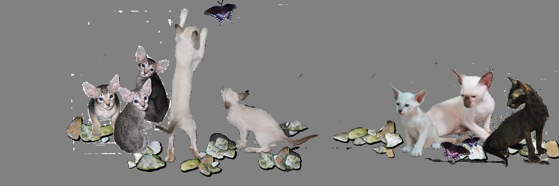 Oriental Shorthair Kittens in Oriental Cat Breeders Illinois